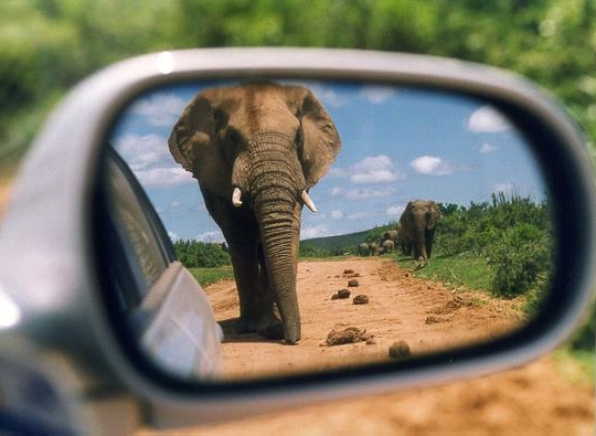 Elephants in rearview mirror